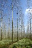 poplars Arkivfoton
