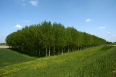poplars Arkivfoto