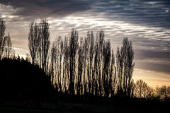 Poplars against the sky Royalty Free Stock Image