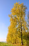 Poplars aligned with golden foliage Stock Photo
