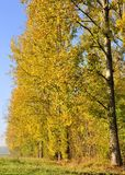 Poplars aligned with golden foliage Stock Photography