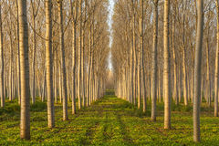 Poplars alley Stock Photos