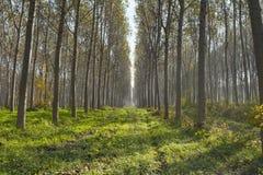 Poplars alley. Beautiful poplars alley in an italian forest Stock Photo