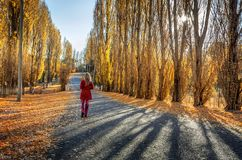 Poplars along rural country road. Golden poplars line an old country road in rural Australia Royalty Free Stock Photo