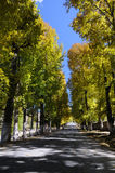 Poplars in autumn Royalty Free Stock Images