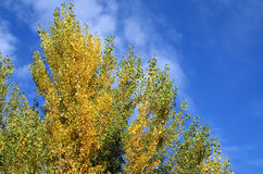 Poplars in autumn Stock Photos