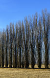 Poplars in autumn, Lomellina (North Italy) Stock Image