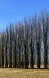 Poplars in autumn, Lomellina (North Italy) Stock Image