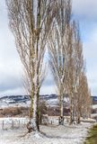 Poplars in countryside holding fresh snow in winter stock images