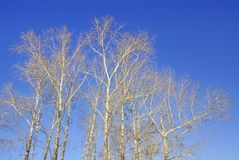 Poplars. the crowns of the poplars lit by the sun. March spring. Huge giants waving wooden arms to the sky Stock Photo