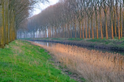 Poplars in Damme, Belgium, Europe Stock Images