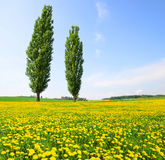 Poplars with dandelions on meadow. Stock Image