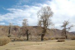 Poplars in desert. In Altai mountains in spring Royalty Free Stock Photo