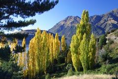 Poplars do outono Foto de Stock