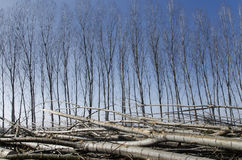 Poplars felled Royalty Free Stock Photography