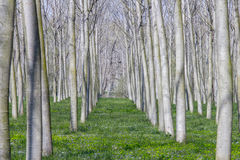 Poplars field Stock Images