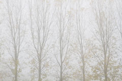 Poplars and fog in autumn. Populus. Royalty Free Stock Photo