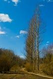 Poplars. Footpath along the alley with a shower slim piramidalmymi poplars against the blue sky Royalty Free Stock Photo
