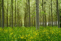 Poplars forest Royalty Free Stock Image