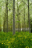 Poplars forest Stock Images