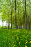 Poplars forest Royalty Free Stock Photo