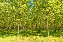 Poplars forest in Po Valley, Italy Royalty Free Stock Photos