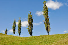 Poplars in a grassland, New Zealand Stock Photos