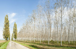 Poplars grove and country road Royalty Free Stock Photos