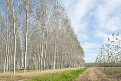Poplars grove and country road Royalty Free Stock Image