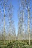 Poplars Royalty Free Stock Photography