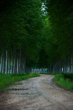 Poplars pathway autumn edition Royalty Free Stock Image