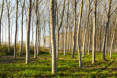 Poplars plantation Royalty Free Stock Image