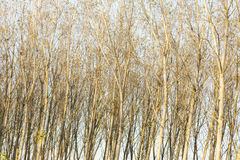 Poplars plantation close-up Stock Images