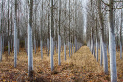 Poplars planting. Populus canadensis. Stock Photo