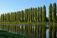 Poplars in the row Stock Photos