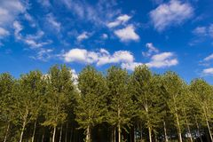 Poplars in front of a cloudy blue sky Royalty Free Stock Images