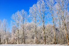 Poplars  in snow Stock Images