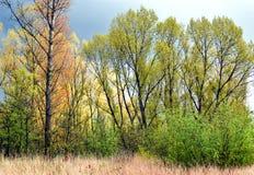 Poplars in the spring. Poplars in the spring with an impending air in The Vlietlanden, The Netherlands Stock Photos