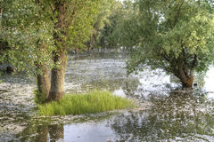 Poplars standing in water. Sunny spring landscape with poplars standing in water Stock Photography