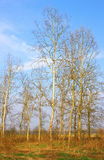 Poplars trees Stock Photo