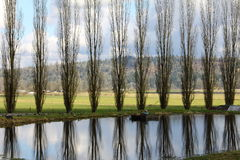 Poplars trees Stock Photos