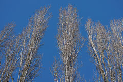 Poplars in winter Stock Images