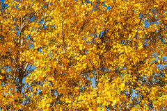 Poplars with yellow leaves in autumn. Populus. Stock Photo