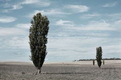 poplartrees Arkivfoton