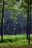 poplartrees Arkivbild