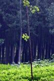 poplartrees Arkivbilder