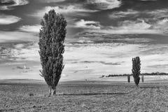 poplartrees Arkivfoto