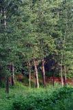 poplartrees Royaltyfri Bild