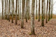 PoplarTrees Fotografering för Bildbyråer