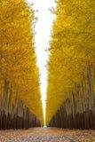 Poplartrees på en treelantgårdhöst Arkivbild